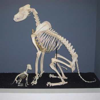 Chihuahua Bones