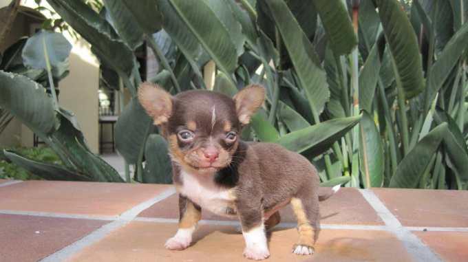 Chihuahua Breeders California