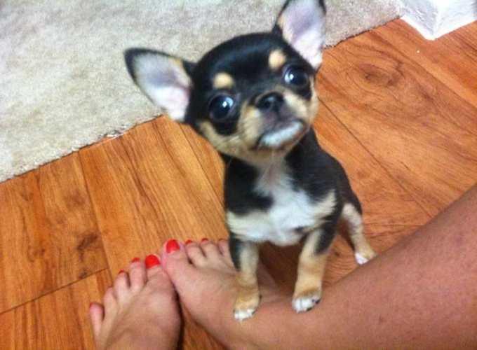 Chihuahua Breeders Dallas