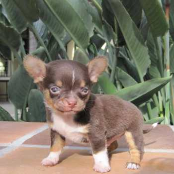 Chihuahua Breeders In Indiana