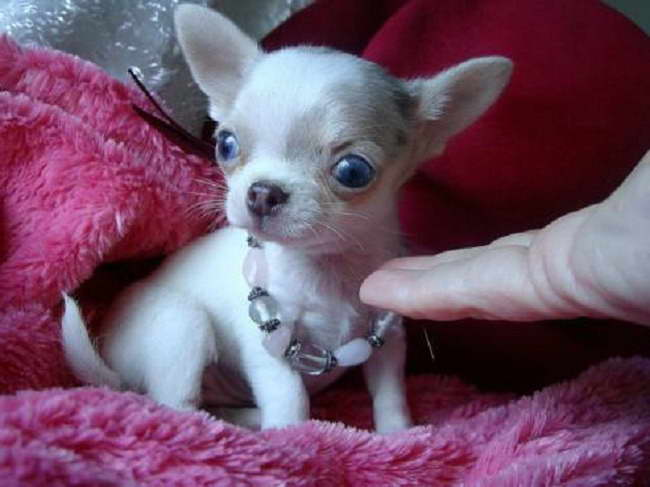 Chihuahua Breeders In Oklahoma