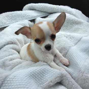 Chihuahua Breeders In Washington