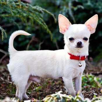 Chihuahua Breeding Facts