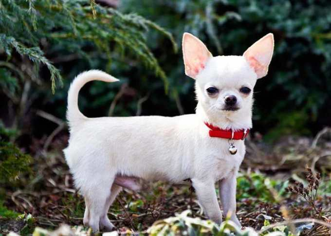 Chihuahua Breeding Facts
