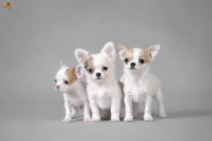 Chihuahua Breeding
