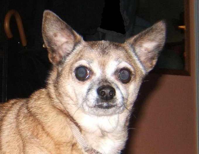 Chihuahua Cancer