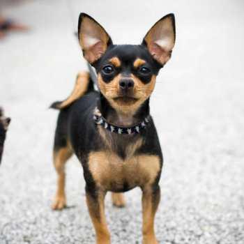 Chihuahua Colors Black