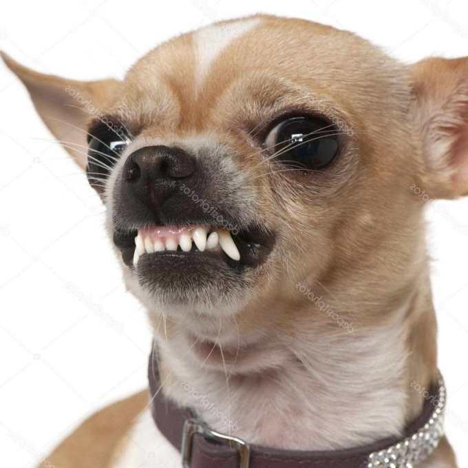 Chihuahua Com