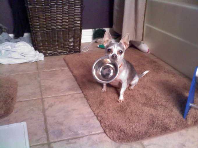 Chihuahua Congestive Heart Failure Life Expectancy