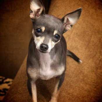 Chihuahua Deer Head For Sale