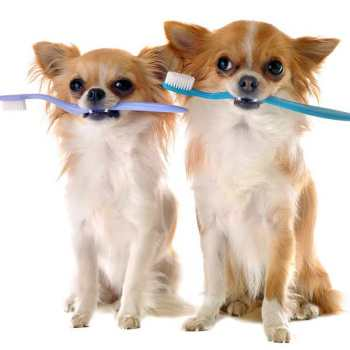 Chihuahua Dental Care