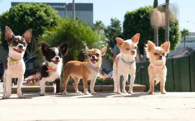 Chihuahua Dog Adoption