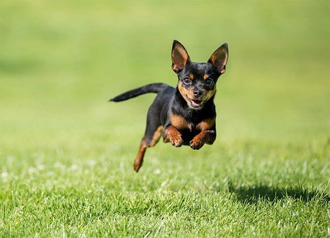 Chihuahua Dog Breeder