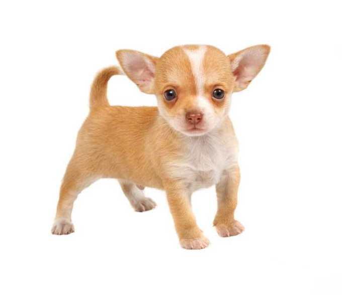 Chihuahua Dog Breeders Near Me