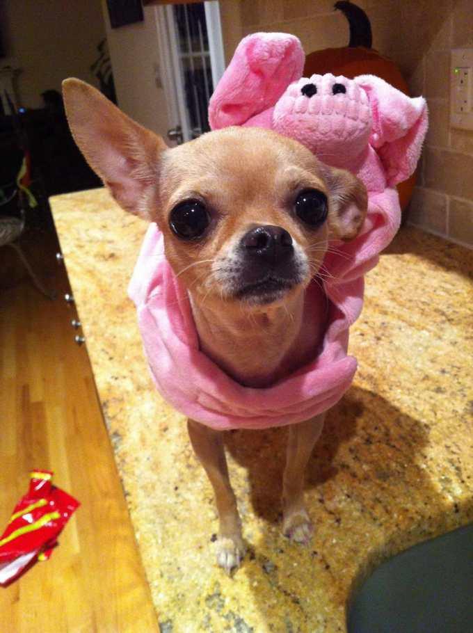 Chihuahua Dog Costumes