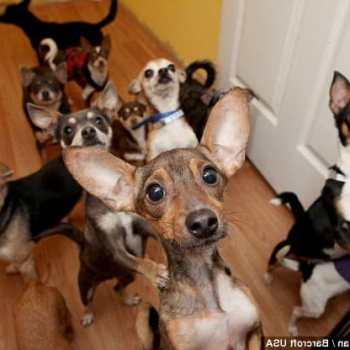 Chihuahua Dog Rescue