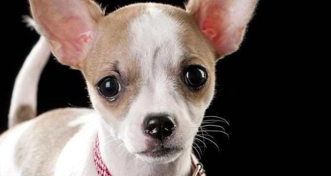 Chihuahua Eye Problems