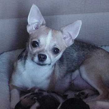Chihuahua Females For Sale