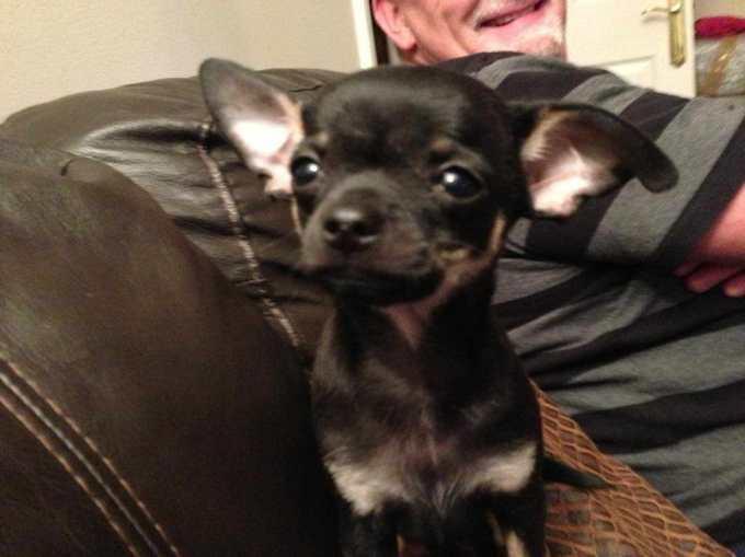 Chihuahua For Sale Denver