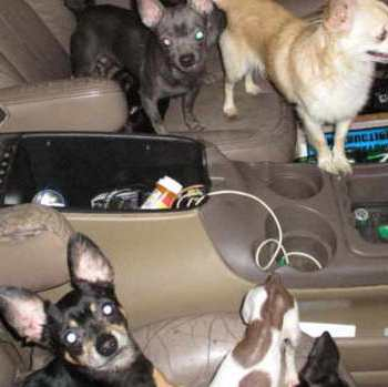 Chihuahua For Sale In Maryland