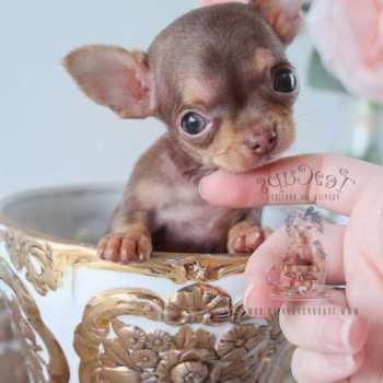 Chihuahua For Sale Miami
