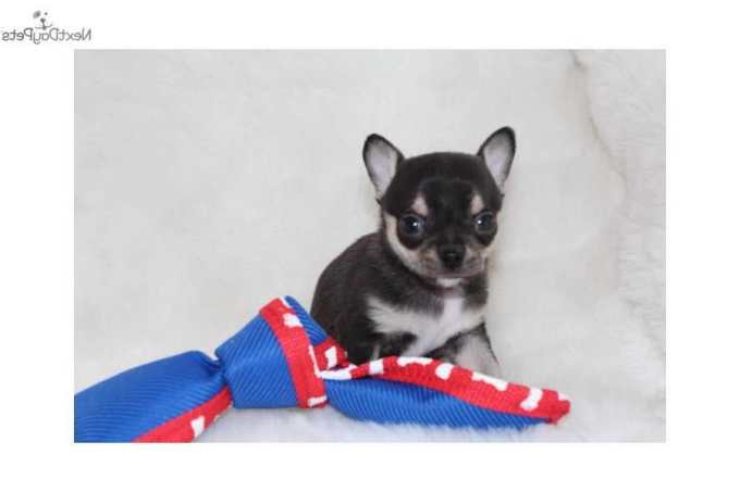 Chihuahua For Sale Missouri