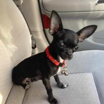 Chihuahua For Sale Phoenix Az