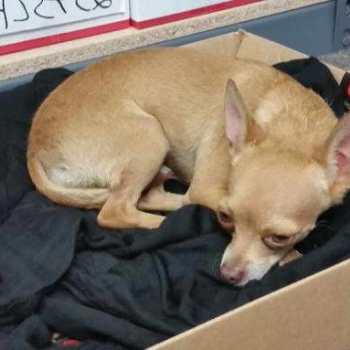 Chihuahua Found