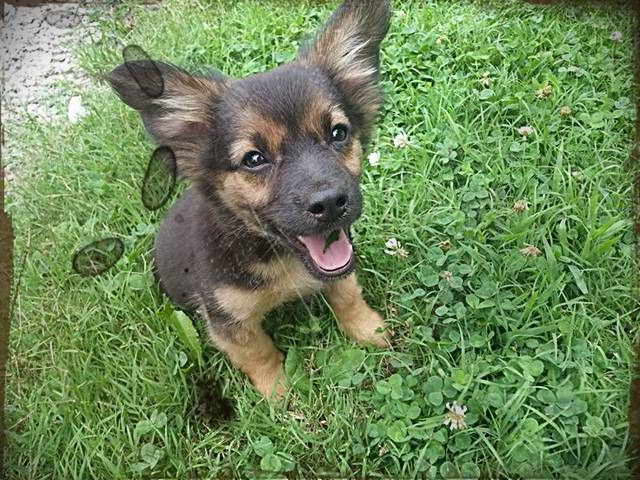 Chihuahua German Shepherd Mix For Sale