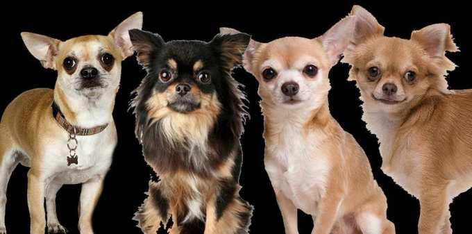 Chihuahua Groups