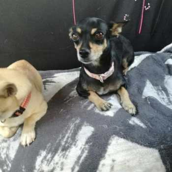 Chihuahua Haven Rescue
