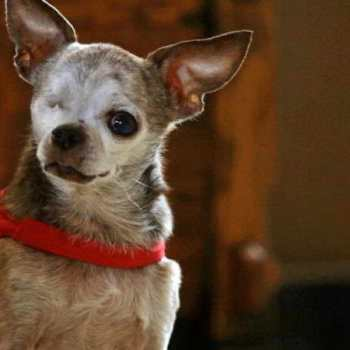 Chihuahua Heart Murmur Life Expectancy