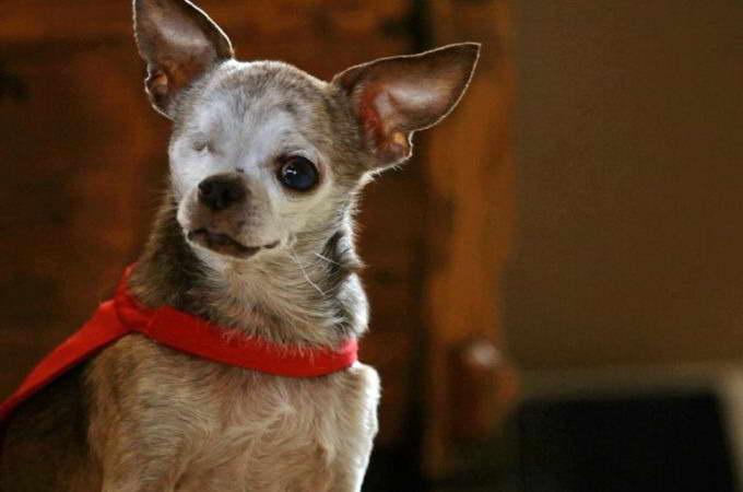 Chihuahua Heart Murmur Life Expectancy