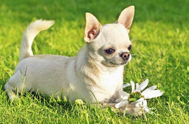 Chihuahua Hypoallergenic