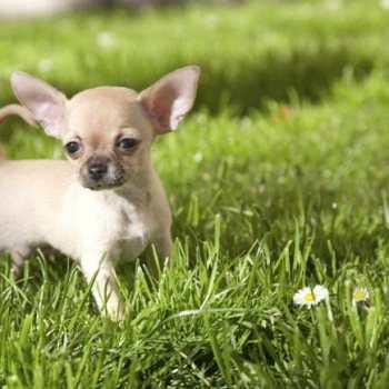 Chihuahua Hypoglycemia Symptoms