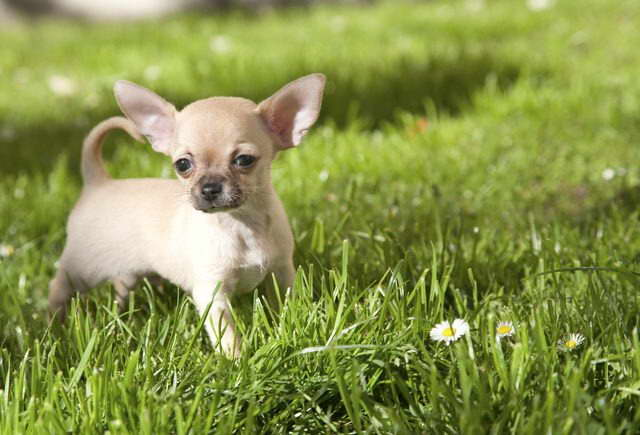 Chihuahua Hypoglycemia Symptoms