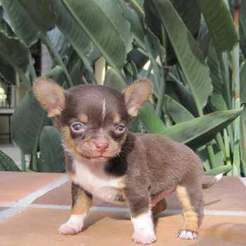 Chihuahua Indiana