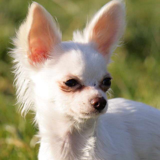 Chihuahua Kidney Failure