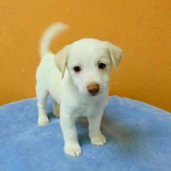 Chihuahua Lab Mix Puppies