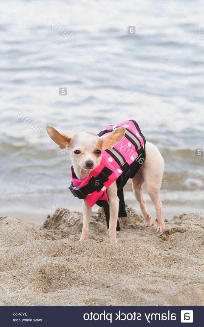 Chihuahua Life Jacket