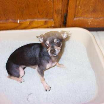 Chihuahua Litter Box