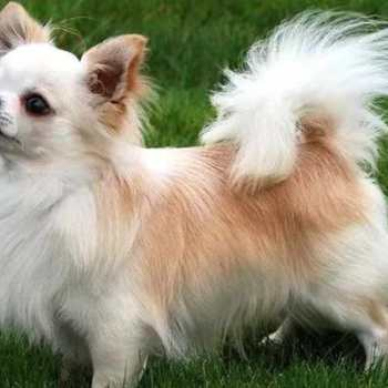 Chihuahua Long Hair Puppy For Sale