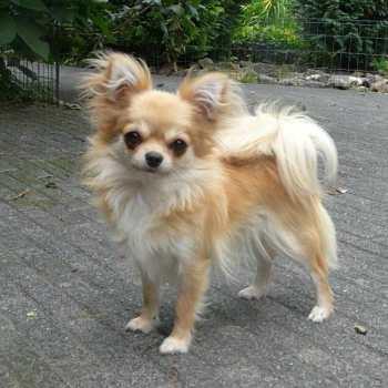 Chihuahua Long Hair