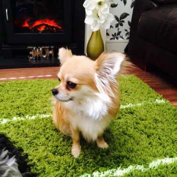 Chihuahua Long Haired For Sale