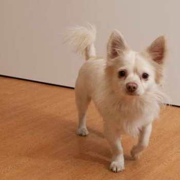 Chihuahua Mix Adoption