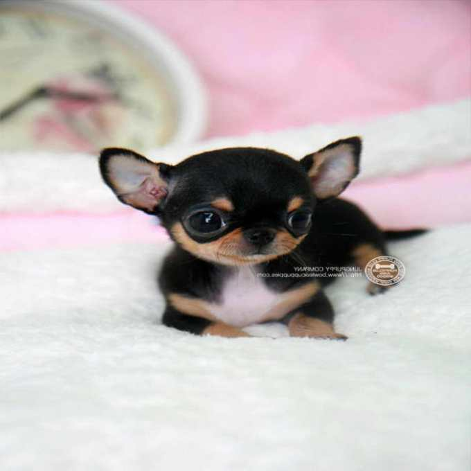 Chihuahua Mix Puppies For Sale In Michigan