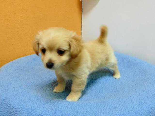 Chihuahua Mix Puppy For Sale