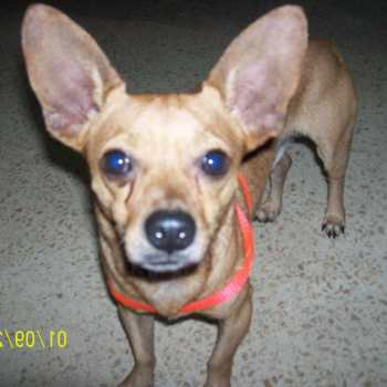 Chihuahua Original