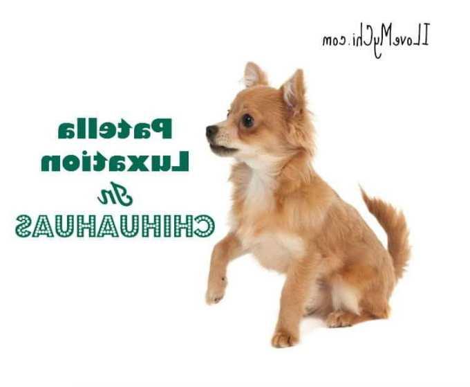 Chihuahua Patella Luxation