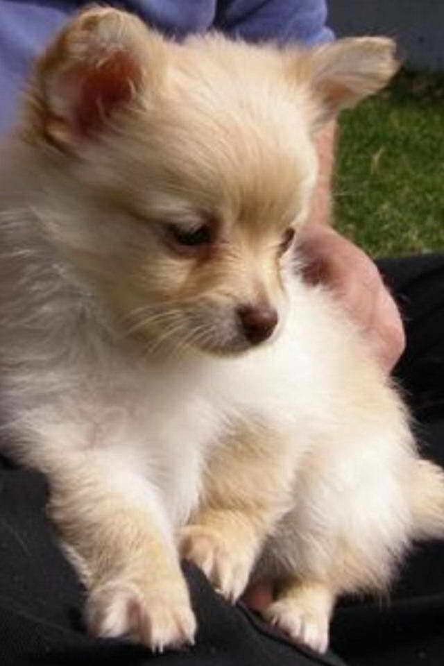 Chihuahua Pomeranian Mix Puppies